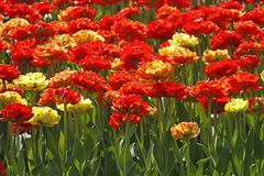 Tulip mixture with yellow and red tulips, Netherlands Royalty Free Stock Images