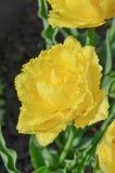 Tulip Mon Amour Het dubbel omzoomde gele tulp stock afbeelding