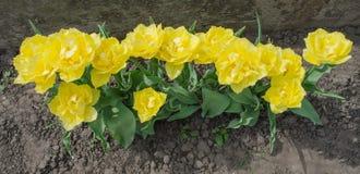 Tulip Mon Amour Tulipano giallo guarnito doppio fotografie stock libere da diritti