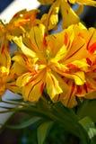 Tulip Monsella fotografia de stock royalty free