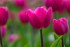 Tulip (Monsella) with nice background color Royalty Free Stock Image