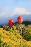 Tulip with mount Fuji background Stock Image