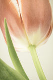 Tulip with muted color photo filter Royalty Free Stock Photography