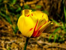 Tulip?n amarillo-rojo hermoso en el d?a soleado - detalle en la flor fotografía de archivo