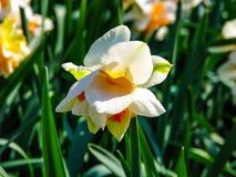 Tulip?n amarillo-rojo hermoso en el d?a soleado - detalle en la flor fotos de archivo libres de regalías