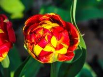 Tulip?n amarillo-rojo hermoso en el d?a soleado - detalle en la flor foto de archivo libre de regalías