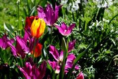 Tulip?n amarillo y rojo en la floraci?n foto de archivo