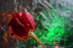 Tulip?n rojo con descensos del roc?o en un vidrio en el fondo del bokeh coloreado foto de archivo