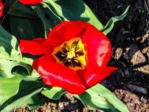 Tulip?n rojo hermoso en el d?a soleado - detalle en la flor fotos de archivo libres de regalías