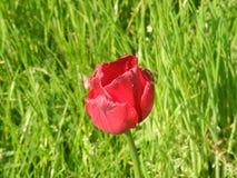 Tulip?n rojo fotos de archivo