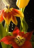 Tulip na chuva Imagem de Stock Royalty Free