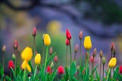 Tulip na chuva Imagens de Stock