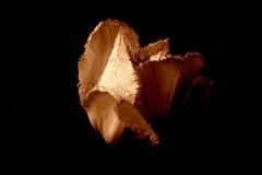 Tulip na chuva [3] fotografia de stock