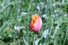 Tulip needle Royalty Free Stock Images