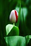 Tulip no botão Imagens de Stock Royalty Free