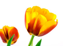 Tulip no fundo branco Imagem de Stock