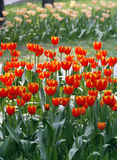 Tulip in the nursery. royalty free stock photos