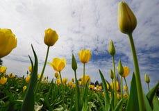 Tulip o mais fest na sapata de madeira Imagem de Stock