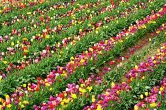 Tulip o mais fest na sapata de madeira Imagens de Stock