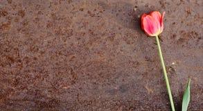 Tulip on an old sheet of iron Stock Photos