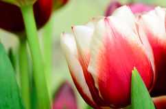 Tulip. One of the firts spring tulips Royalty Free Stock Photos