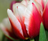 Tulip. One of the firts spring tulips Royalty Free Stock Images