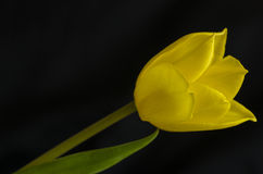 Tulip. One yellow tulip on black background with one leaf Stock Images