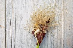 Tulip Onion arkivbilder