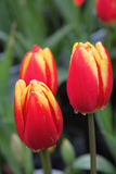 Tulip opening Stock Images