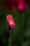 Tulip. When opening the park has numerous varieties of colorful tulips in spring open very beautiful Royalty Free Stock Photos