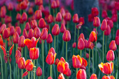 Tulip. When opening the park has numerous varieties of colorful tulips in spring open very beautiful Royalty Free Stock Photo
