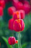 Tulip. When opening the park has numerous varieties of colorful tulips in spring open very beautiful Royalty Free Stock Image