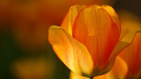Tulip orange bud and fly royalty free stock image