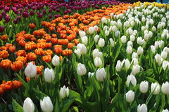 Tulip 6. Orange, dark red, and white tulip bulbs about to bloom Royalty Free Stock Image