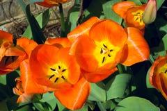 Tulip orange flower in full bloom under sunlight in Spring 2 Royalty Free Stock Image
