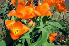 Tulip orange flower in full bloom under sunlight in Spring 3 Royalty Free Stock Image
