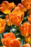 Tulip orange shined by the sun Royalty Free Stock Image