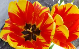 Tulip. Orange and yellow tulips from Holland Stock Photo