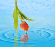 Tulip over Water. A tulip over rippling water Stock Photos