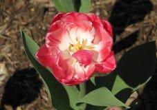 Tulip Overhead macro do rosa e a branca fotos de stock royalty free