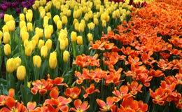 Tulip Pako 1 Stock Afbeeldingen