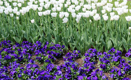 Tulip and pansy background. Beautiful tulip and pansy background royalty free stock photos