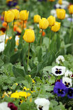 Tulip and pansy flower garden Royalty Free Stock Photography