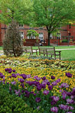 Tulip and pansy flowerbed in the George Washington University campus Royalty Free Stock Photo