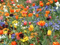 Tulip and Pansy Garden Royalty Free Stock Image