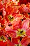 Tulip Parrot Lady Images libres de droits