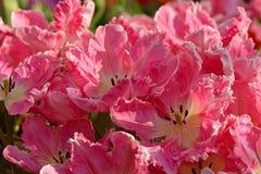Tulip Parrot Pink Vision Fotografía de archivo