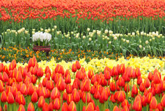 Tulip Parterre Stock Image