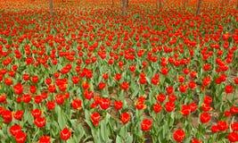 Tulip parterre Stock Photos