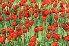 Tulip parterre Royalty Free Stock Image